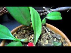Tipos de orquídeas e cuidados básicos - YouTube
