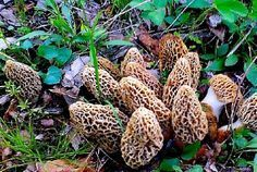 Peter Dilley's Grow Morel Mushrooms. Interesting instructions for growing morels indoors.