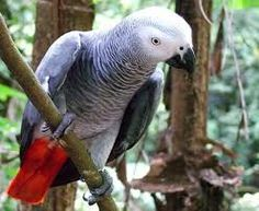 African Grey Parrot (Psittacus erithacus) Lives in the lowland rainforests of tropical Africa, This Bird has the ability to mimic a human voice Congo Rainforest, Parrot Wallpaper, African Grey Parrot, Parrot Bird, Kinds Of Birds, Exotic Birds, Tropical Birds, Budgies, Beautiful Birds