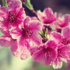 Flower Photograph of a Pink Branch. Cozy Wall by NatureCloseUp