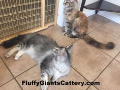 CFA & TICA registered cattery in SE Michigan, we are an in-home Maine Coon breeder, with European Champion bloodlines sire & dames. Maine Coon Kittens, Kitten For Sale, Cattery, Heavy Metal, Michigan, King, Cats, Silver, Animals