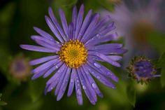 Aster -- add to flower garden 2014