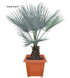 Medium Blue Hesper Palm Tree - Brahea armata (web) http://realpalmtrees.com/ The Palm Tree Store