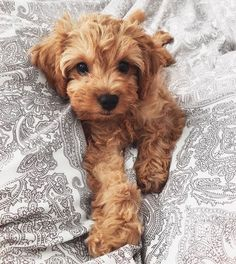 Toy poodle pup