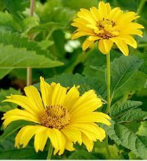 Heliopsis helianthoides scabra Sommersonne