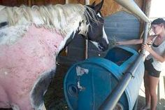 """TV: Devastating mystery illness hits California horses — """"Nobody will even tell us what it is"""" — Skin falling off, covered in painful lesions, eyes swollen shut, liver damage, fainting — Expert: Never seen anything like it in 40 year career (PHOTOS & VIDEOS)"""