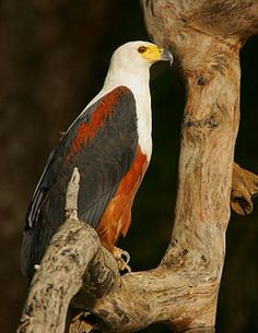 African Fish Eagle: