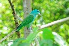 Blue-headed Racquet-tail (Prioniturus platenae) photo by carlo benitez gomez