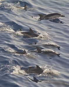 Dolphins surfing by KomodorO // Paco LopeH, via Flickr
