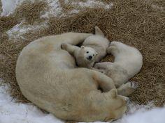 Sapporo Maruyama-Zoo Polar bear twins