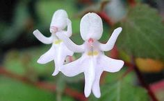 Rare and Amazing Dancing Girl Orchids in Peru.