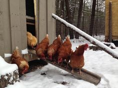 chickens seeing their first snow . .