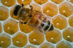 Bee on honeycomb. Bumble Bee Honey, Buzzy Bee, I Love Bees, Bee Boxes, Bee Farm, Jokes And Riddles, Homemade Facials, Jokes For Kids, Bee Happy
