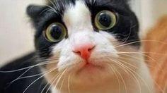 TODO UN RETO: Intenta ver esto SIN REÍRTE! Sí son los gatos más graciosos del mundo #viral