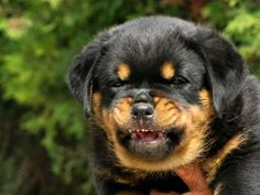 Rottweiler A Rottweiler. The Rottweiler /ˈrɒtwaɪlər/ is a medium to large size breed of domestic dog. The dogs. Fluffy Puppies, Cute Puppies, Cute Dogs, Dogs And Puppies, Teacup Puppies, Chihuahua Dogs, Doggies, German Dog Breeds, Bulldog Breeds