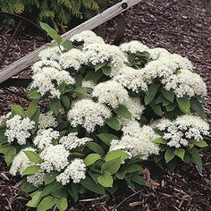 Proven Winners in. Lil' Ditty Witherod Viburnum (Cassinoides) Live Shrub, White Flowers and Color-Changing Berries Garden Shrubs, Landscaping Plants, Garden Plants, Flower Gardening, Dwarf Flowering Shrubs, Garden Spaces, Flowers Garden, Dwarf Plants, Landscaping Design