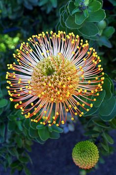 Pin-cushion Protea (Leucospermum cordifolium), Monte Palace Tropical Garden, Monte, Funchal, Madeira Island; Photo by Virgilio Silva - Flickr - Photo Sharing!