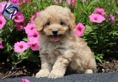 Tilly – Miniature Goldendoodle Puppies for Sale in PA   Keystone Puppies