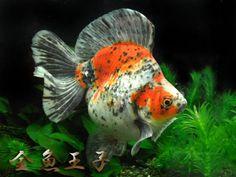 Ryukin Ryukin Goldfish, Types Of Gold, Pet Fish, Water Life, Beautiful Fish, Freshwater Fish, Aquarium Fish, Betta, Fresh Water
