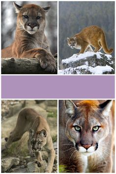 #mountain lion