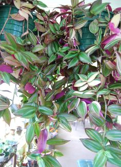 Wandering Jew Sailor Rosa Rose Tradescantia - HARD TO FIND - Easy Care - Beautiful Rare Tricolor Plant