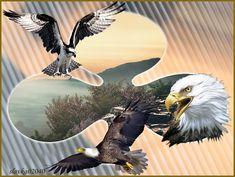 Bald Eagle, Bird, Animals, Animales, Animaux, Birds, Animal, Birdwatching, Animais