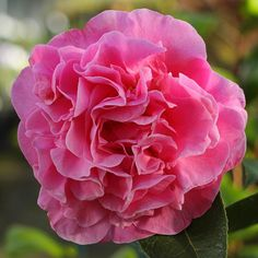 Camellia 'Tickled Pink'