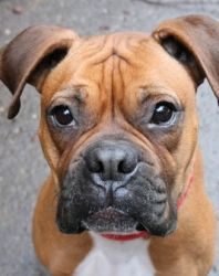 STELLA is an adoptable Boxer Dog in Seattle, WA. STELLA is a 2 yr old boxer girl. She is a fawn with a black mask, white chest, natural ears