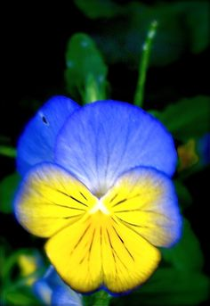 Pansy; I always called the small ones violets or violas; maybe I'm wrong to do that.
