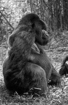 From Virunga National Park #gorillas #TOMSAnimalInitiativeAnimals world.