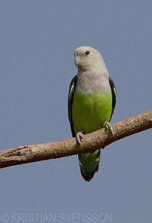 Grey-headed Lovebird (Agapornis canus)