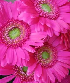 YOUTUBE CHANNEL:https://www.youtube.com/user/TheFederic777 FACEBOOK: https://www.facebook.com/GardenFlowers2015 http://tips-to-help-you-the-gerberas-2.blogspot.com/ #Video #gerberas #flowers Gerbera Daisies, Pink Sunflowers, Pink Gerbera, Pink Daisy, Love Flowers, Happy Flowers, Blooming Flowers, Amazing Flowers, Flowers Garden