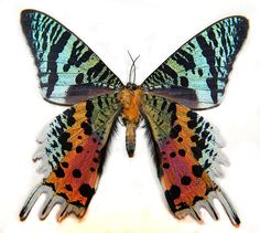 The Madagascar Sunset Moth (Chrysiridia madagascarensis) by Cody Hough, wikipedia: The amazing colors of the iridescent wings is due not to pigment, but to optical interference and light polarization. http://www.ncbi.nlm.nih.gov/pubmed/19532506 #Madagascar_Sunset_Moth