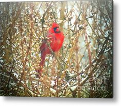 Plump Cardinal Acrylic Print By Shelly Weingart