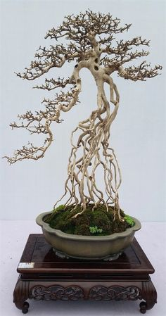 The best guide of Bonsai, study how to grow Bonsai Trees For Sale. Highlights of the 9th National Bonsai Exhibition & the 1st BCI China Bonsai & Penjing Exhibit in Guangzhou, China Source: https://www.bonsai-bci.com/index.php/bci-tour-2016