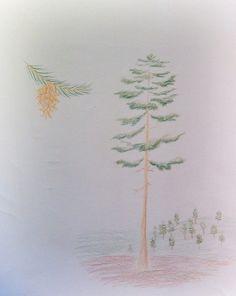 Waldorf ~ 5th grade ~ Botany ~ Conifer ~ main lesson book