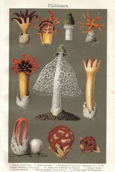 flowering mushrooms, original vintage lithograph, 1896 ...