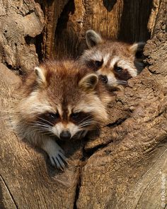 Raccoons / Raton-Laveurs by Eric Bégin on Flickr.