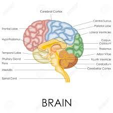 Image result for brain diagram