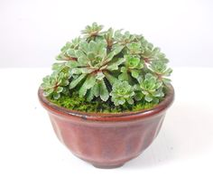 Dwarf Saxifrage in tiny mame bonsai pot