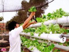 Sistema+de+cultivo+hidropónico