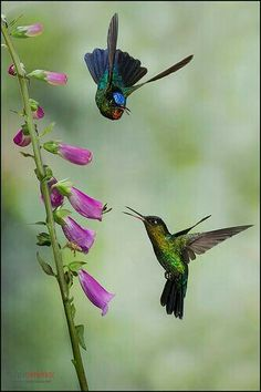 Hummingbirds feeding on a Foxglove.