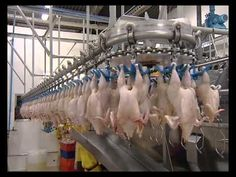 ARAB QATARI COMPANY FOR POULTRY PRODUCTION - YouTube