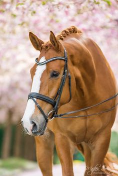 "Beautiful gelding ""Luis"" at Bispebjerg Kirkegård, Copenhagen, Denmark. All The Pretty Horses, Beautiful Horses, Animals Beautiful, Beautiful Creatures, Horse Photos, Horse Pictures, Palomino, Horse Barns, Horse Stalls"