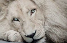 WOW THIS BEAUTIFUL WHITE LION AND EYES BLUE