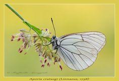 Aporia crataegi (Linnaeus, 1758)