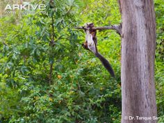 Indian-giant-flying-squirrel-climbing-branch.