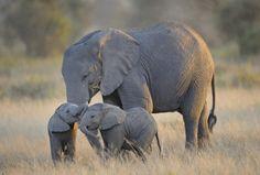 サバンナ 象の親子の壁紙   壁紙キングダム PC・デスクトップ版