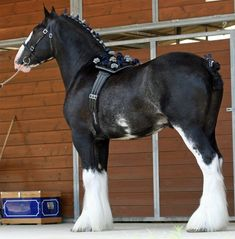 Donegal Dr. Pepper - Clydesdale- Show Horse Gallery, A Different Horse is Featured Every Day