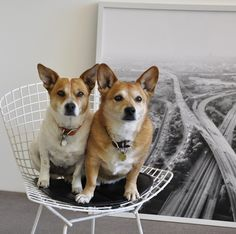 Sydney and Lola. Melbourne, Sydney, Final Five, Living With Dogs, Pet Style, Mid Century Modern Furniture, Mid-century Modern, Dog Cat, Corgi